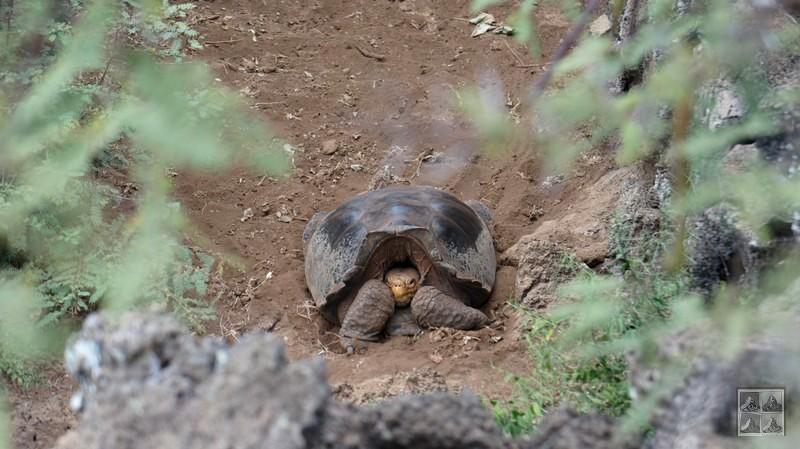 tortue des iles