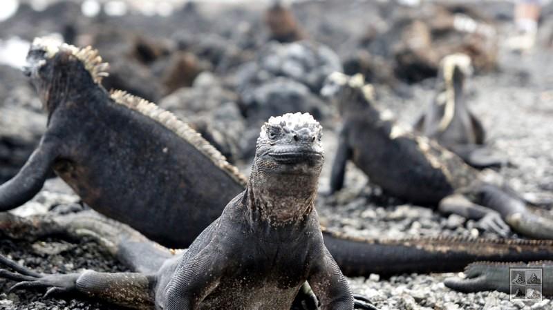 iguanes des mers